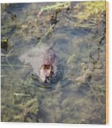 Beaver Spotted The Great Beaver Escape 01 Wood Print