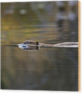 Beaver Swimming  Late Evening Wood Print