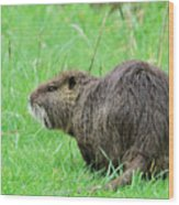 Beaver With Whiskers Wood Print