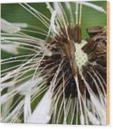 Bedraggled Dandelion Wood Print