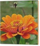 Bee Above Orange Zinnia Wood Print