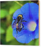 Bee Covered With Pollen On Morning Glory 3521t Wood Print