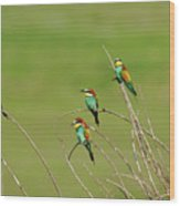 Bee Eaters In The Sun Wood Print