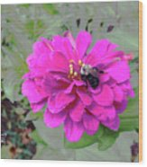 Bee Feeding From Pink Zinnia Wood Print
