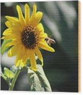 Bee Flying To Bright Lemon Yellow Wild Sunflower In High California Sun Wood Print