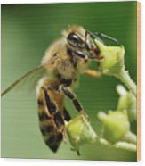 Bee Gathering Nectar Wood Print