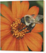 Bee On Aster Wood Print