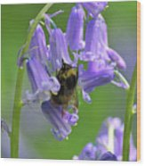 Bee On Bluebell Wood Print