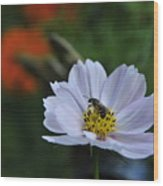 Bee On Daisy Wood Print