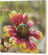 Bee On Gaillardia Wood Print