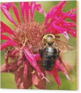Bee On Tea Bloom Wood Print