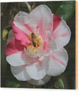 Bee On White And Pink Camellia Wood Print