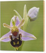 Bee Orchid Wood Print