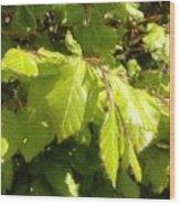 Beech Hedge In Spring Wood Print