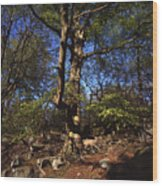 Beech Trees Coming Into Leaf  In Spring Padley Wood Padley Gorge Grindleford Derbyshire England Wood Print