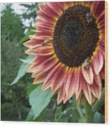 Bees On Sunflower 106 Wood Print