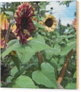Bees On Sunflower 116 Wood Print