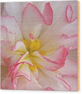 Begonia Pink Frills - Horizontal Wood Print