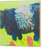 Belted Galloway Cow Looking At You Wood Print