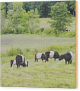 Belted Galloway Cows Rockport Maine Poster Prints Wood Print