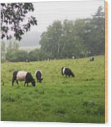 Belted Galloways 2 Wood Print