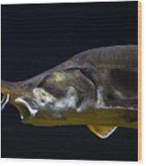 Beluga Sturgeon No 1 Wood Print