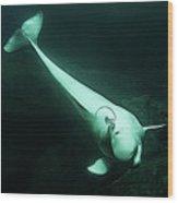 Beluga Whale 3 Wood Print