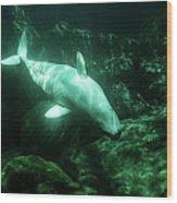 Beluga Whale 5 Wood Print