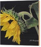 Bending Sunflower Wood Print