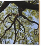 Beneath The Oak Wood Print