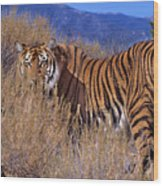 Bengal Tiger Endangered Species Wildlife Rescue Wood Print
