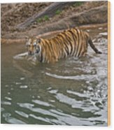 Bengal Tiger Wading Stream Wood Print
