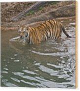 Bengal Tiger Wading Stream Wood Print