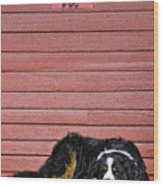 Bernese Mountain Dog Alertly Guarding Home. Wood Print