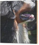 Bernese Mountain Dog Basking In The Sunshine Wood Print