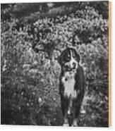 Bernese Mountain Dog Black And White Wood Print