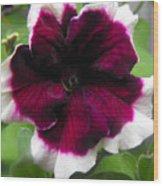 Bi-color Petunia Flower  Wood Print