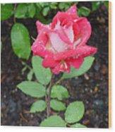 Bi-colored Rose In Rain Wood Print