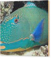 Bicolor Parrotfish Wood Print