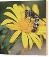 Big Bee On Yellow Daisy Wood Print