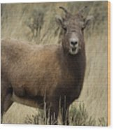 Big Horn Ewe-signed-#7480 Wood Print