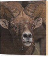Big Horn Grazing Wood Print