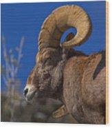 Big Horn Looking Down Wood Print