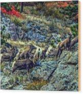 Big Horn Sheep - Close-up Wood Print