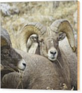 Big Horn Sheep Grazing Wood Print