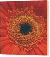 Big Orange Daisey Wood Print