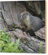 Big Tree Trail - Marmot - Sequoia National Park - California Wood Print