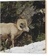 Bighorn In The Rockies Wood Print