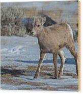 Bighorn Lamb 2 Wood Print