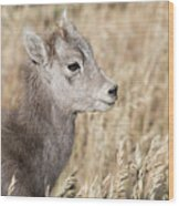 Bighorn Lamb Wood Print
